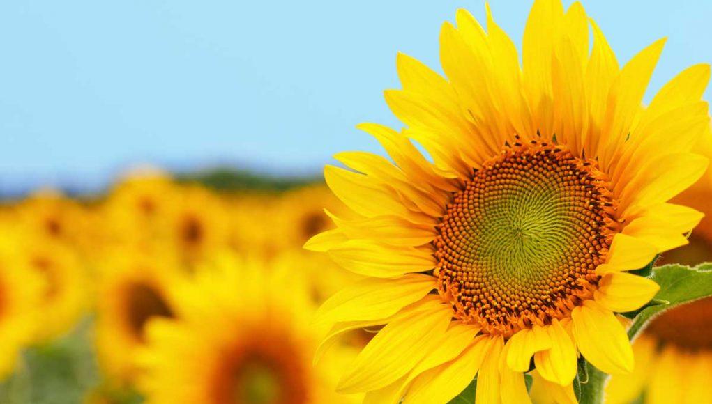 Sunflower Solar Panel